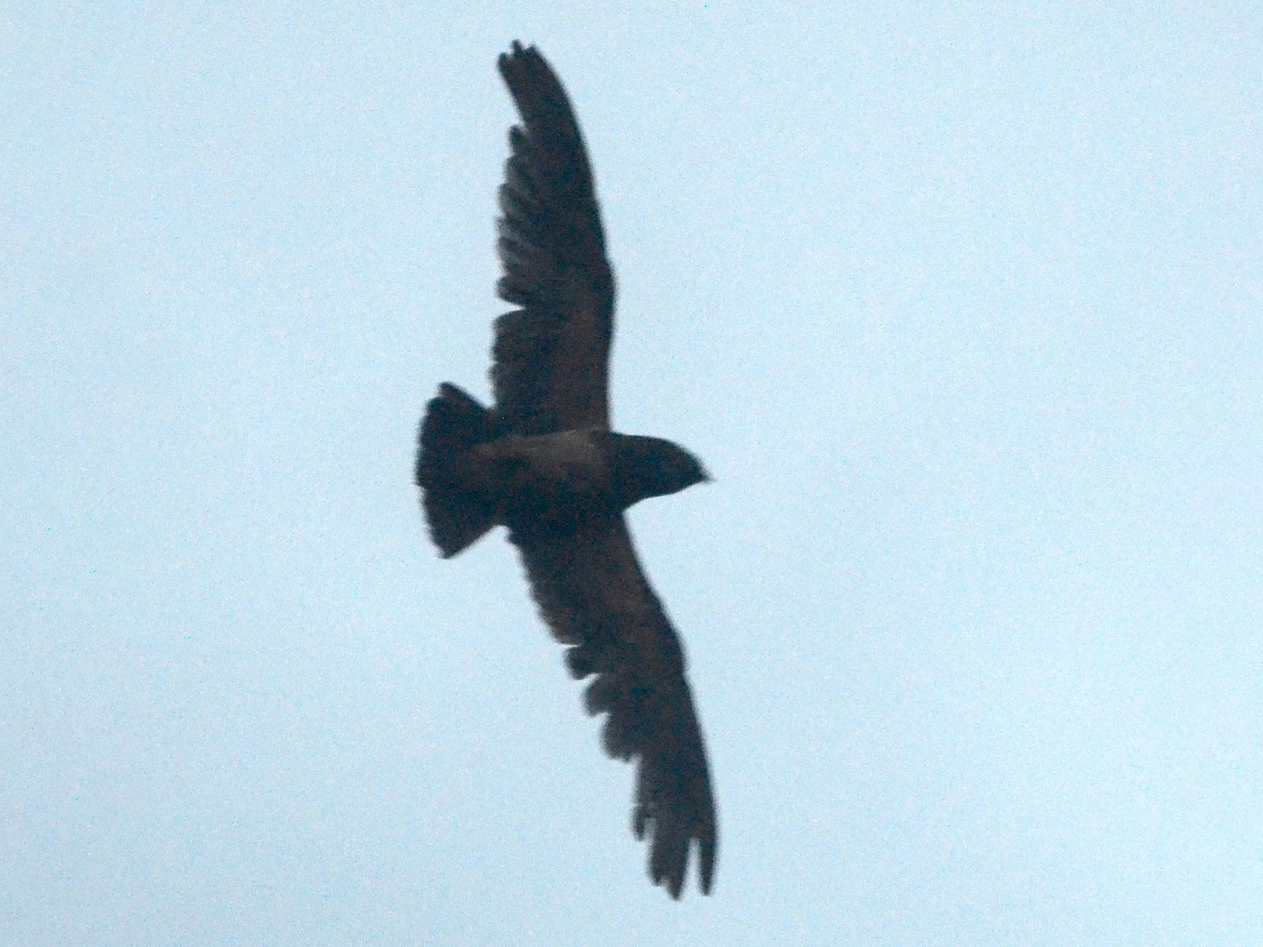 Rufous-bellied Nighthawk - Nikolaj Mølgaard Thomsen
