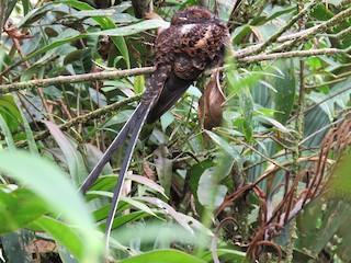 - Swallow-tailed Nightjar