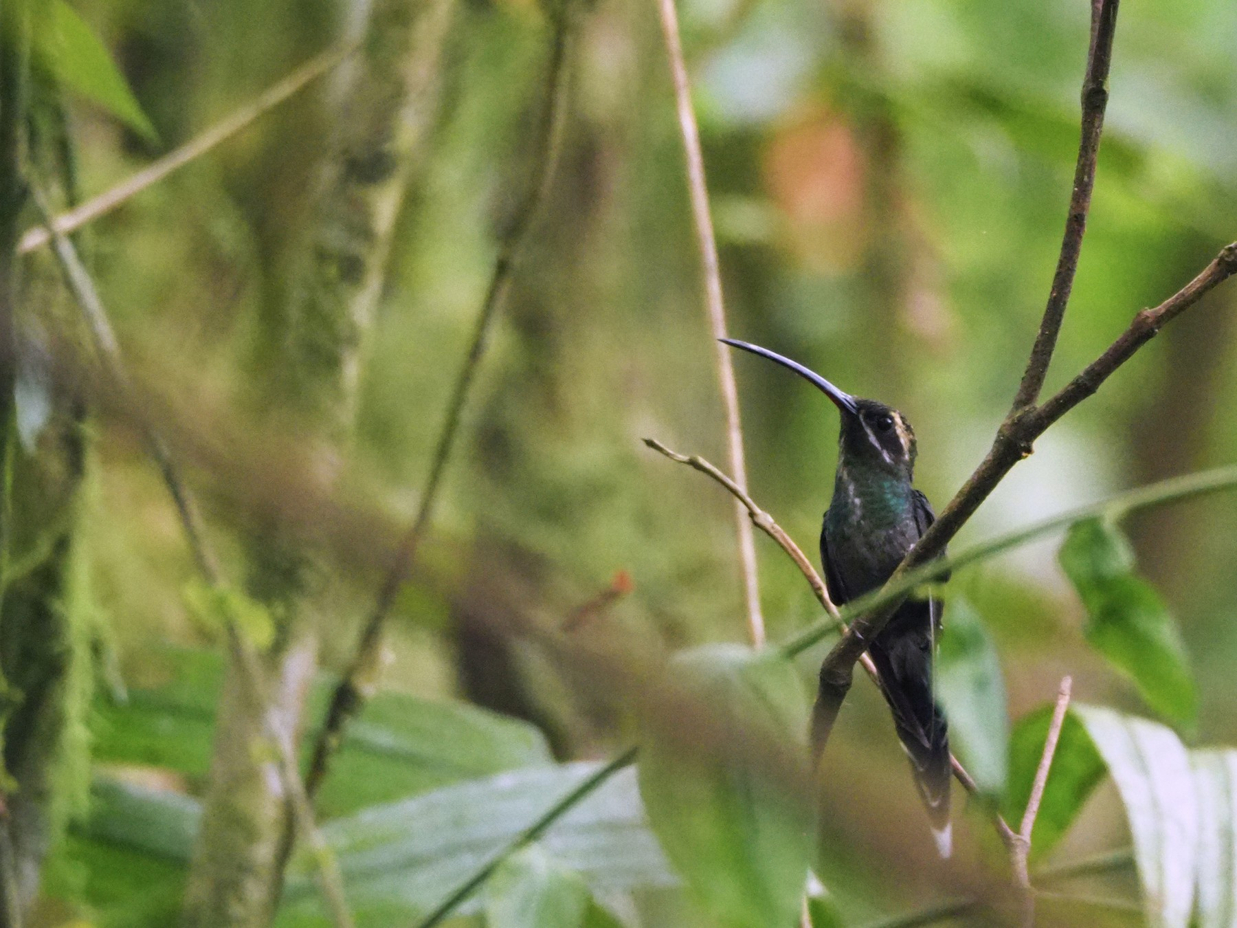 White-whiskered Hermit - Scott Ramos
