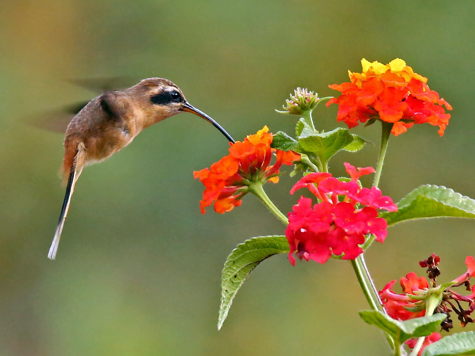 Gray-chinned Hermit - Roger Ahlman