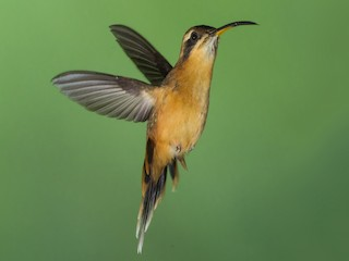 - Gray-chinned Hermit