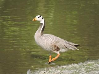 Bar-headed Goose, ML159986621