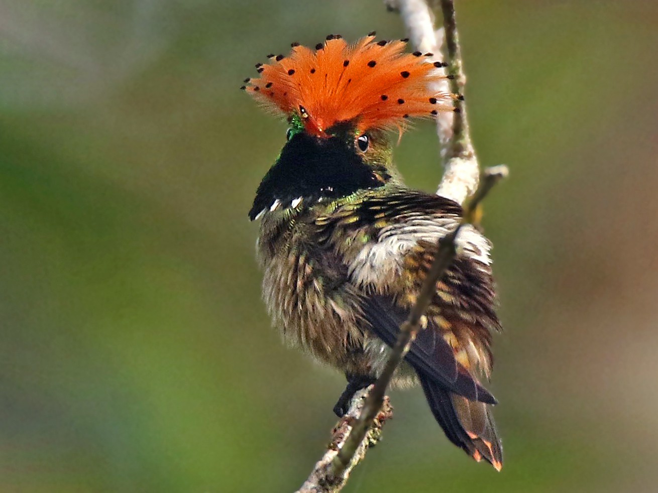 Spangled Coquette - Roger Ahlman