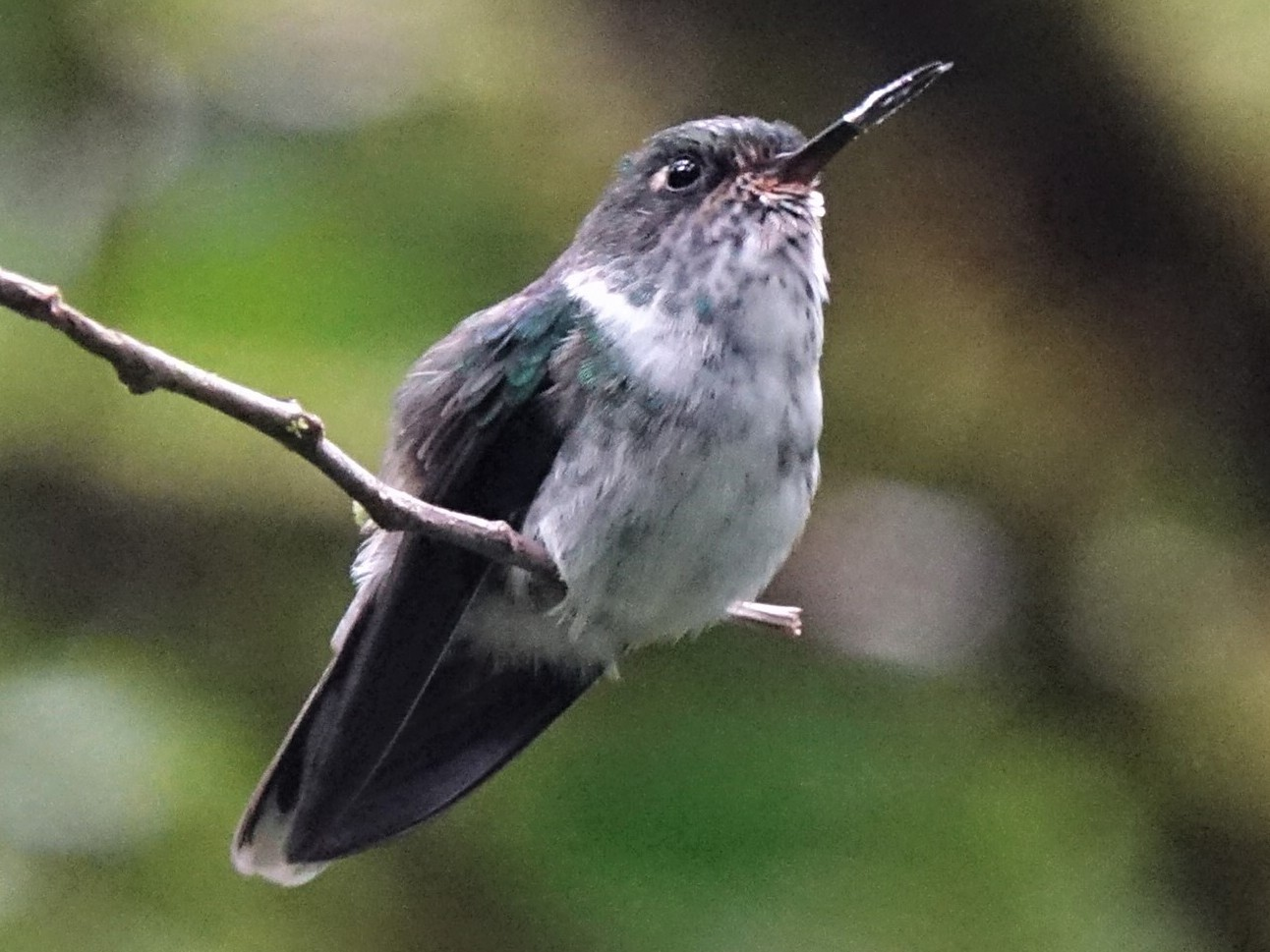 Ecuadorian Piedtail - Ottavio Janni