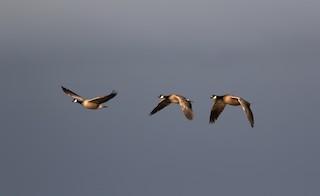 Cackling Goose, ML160055731
