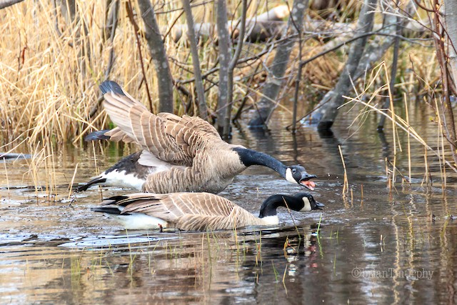 ©Brian Murphy - Canada Goose