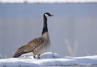 Canada Goose, ML160176001