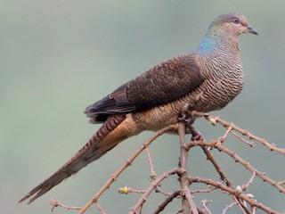 - Barred Cuckoo-Dove