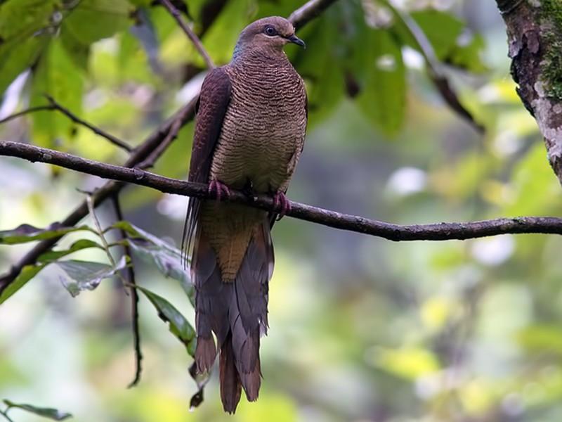 Barred Cuckoo-Dove - Sandip Das