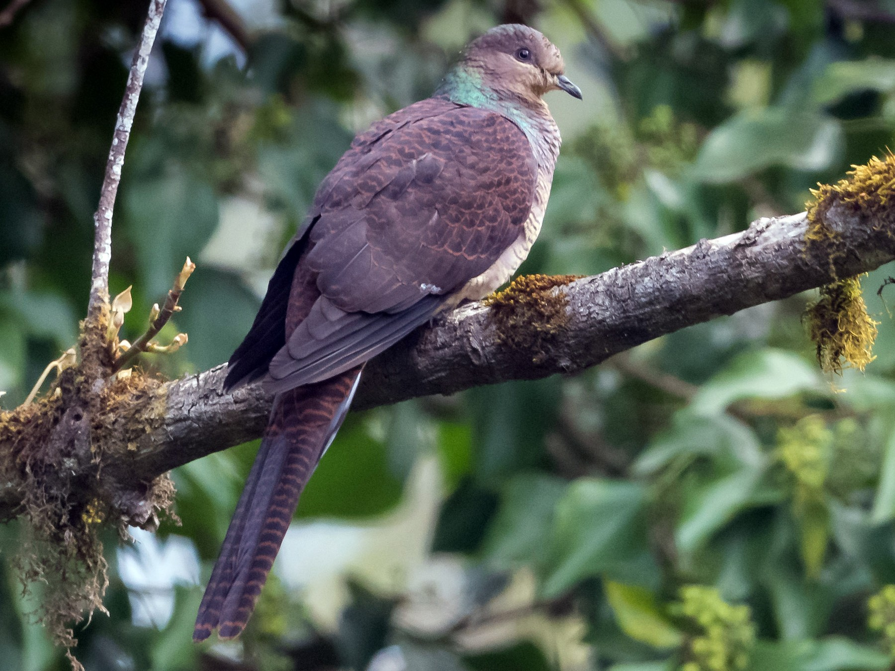 Barred Cuckoo-Dove - Prashant Tewari