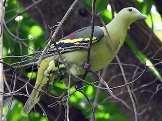 - Andaman Green-Pigeon