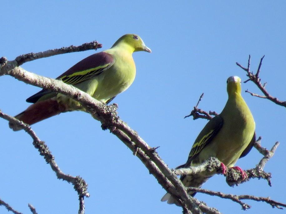 Ashy-headed Green-Pigeon - Samyam Rumba