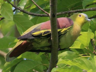 - Ashy-headed Green-Pigeon