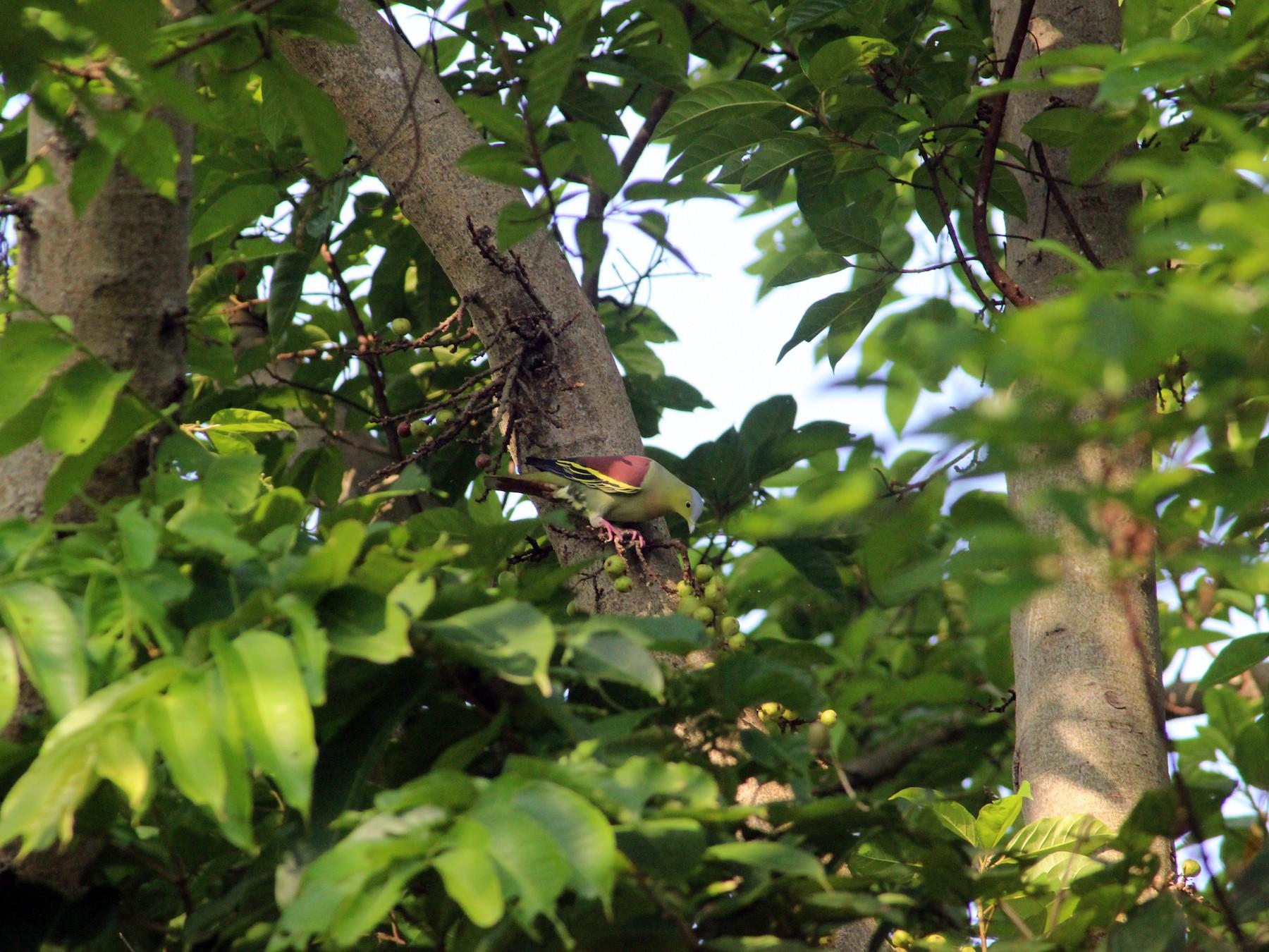 Ashy-headed Green-Pigeon - Jaydev Mandal
