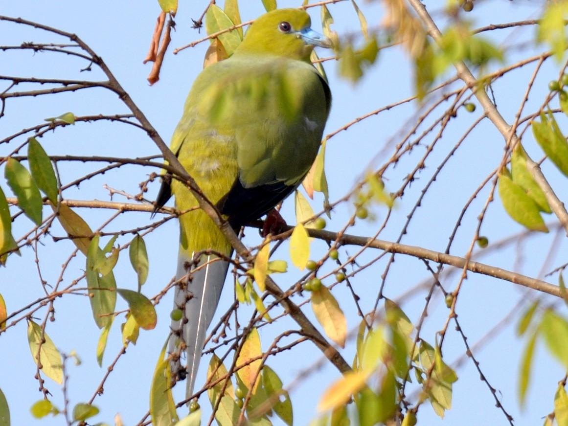 Pin-tailed Green-Pigeon - Snehasis Sinha
