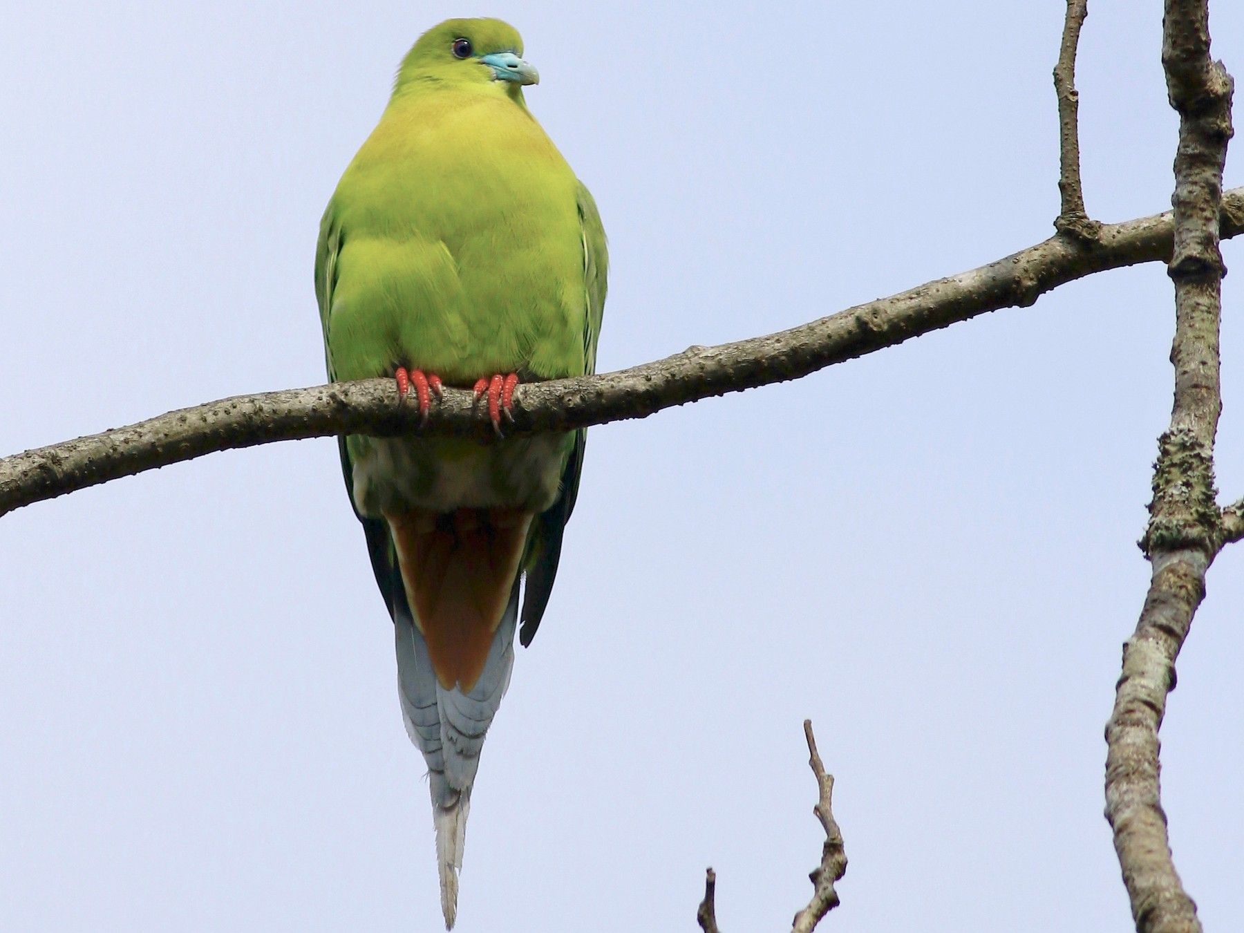 Pin-tailed Green-Pigeon - Sudhir Herle