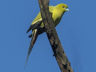 - Pin-tailed Green-Pigeon