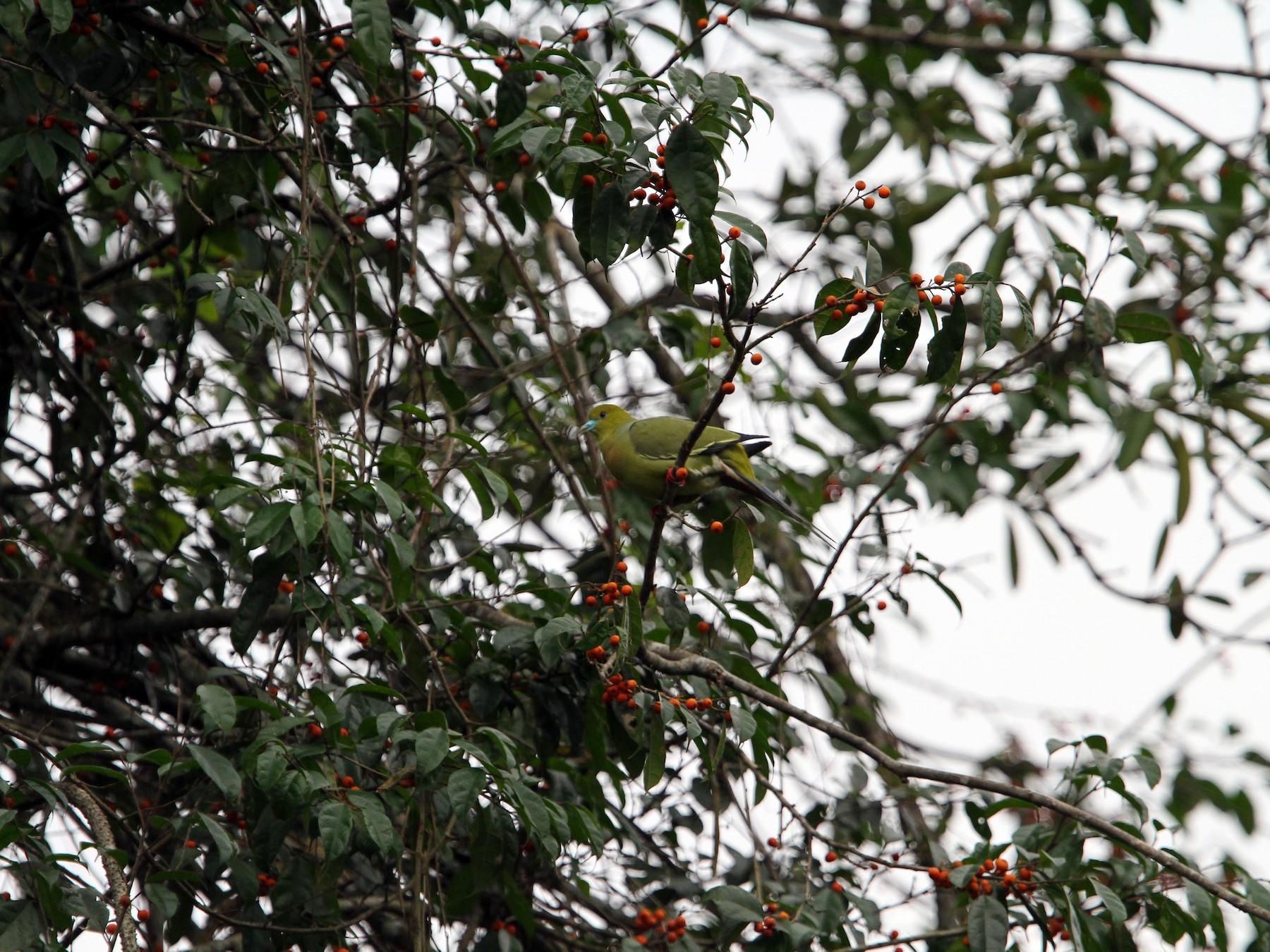 Pin-tailed Green-Pigeon - Christoph Moning