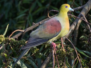 - Wedge-tailed Green-Pigeon