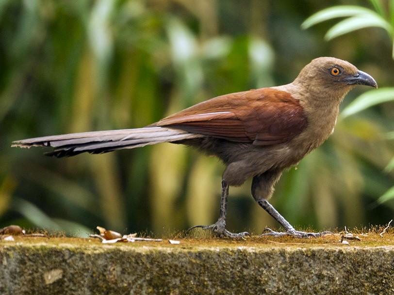 Andaman Coucal - Aditya Roy