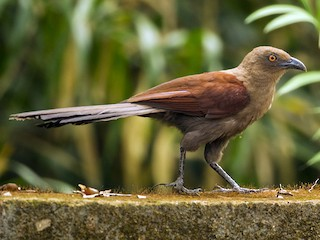 - Andaman Coucal