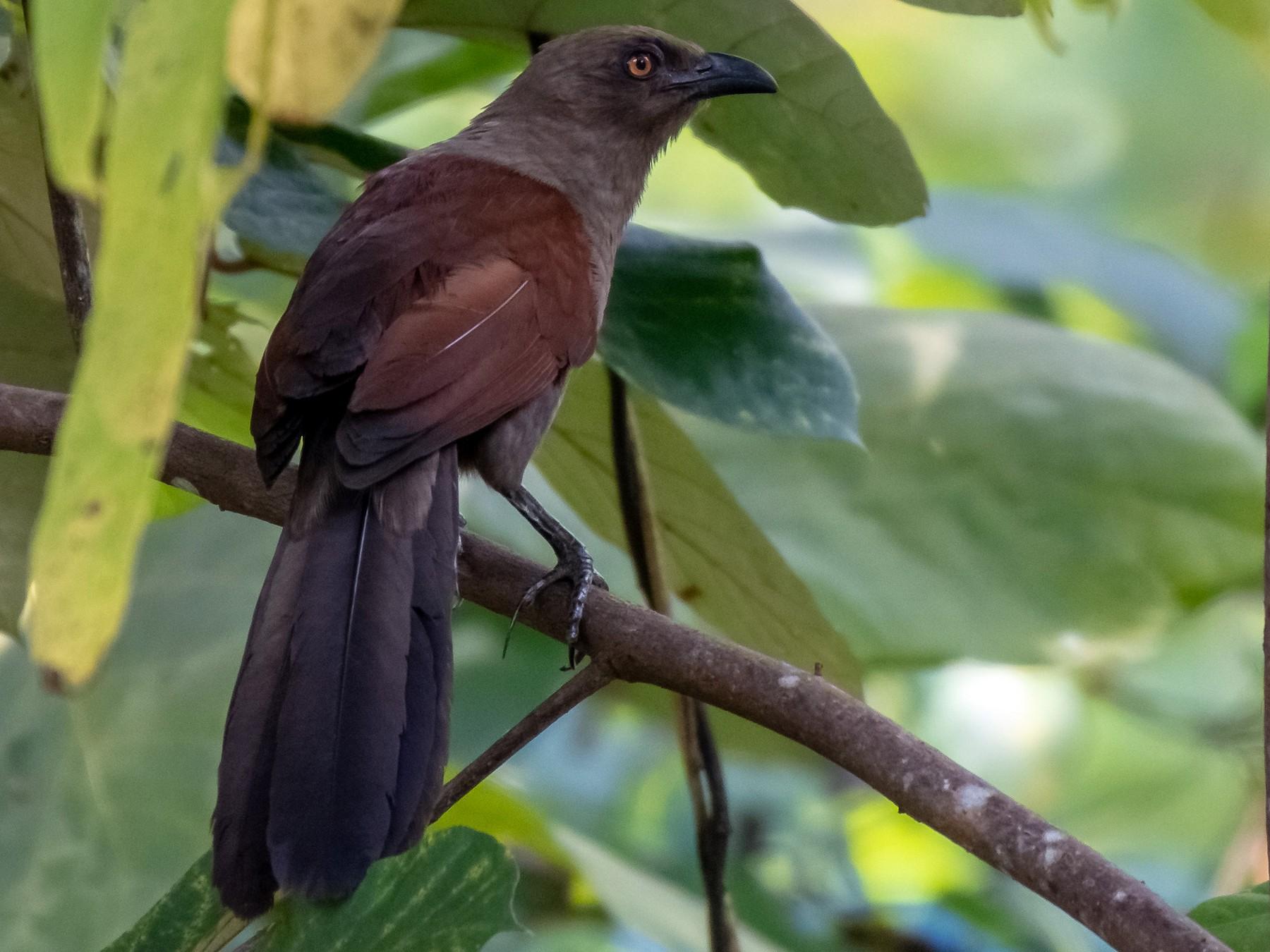 Andaman Coucal - Balaji P B