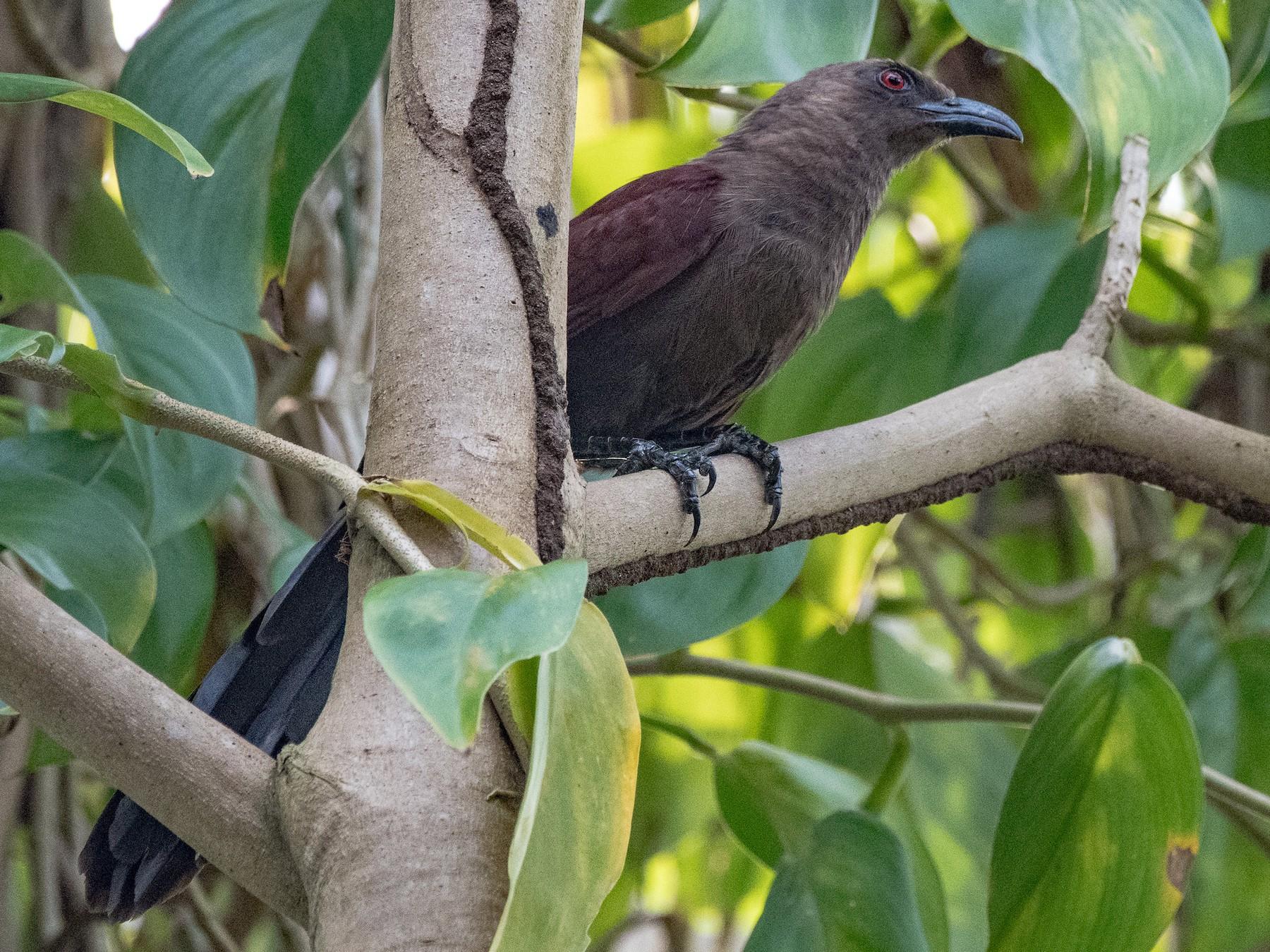 Andaman Coucal - Manjula Desai