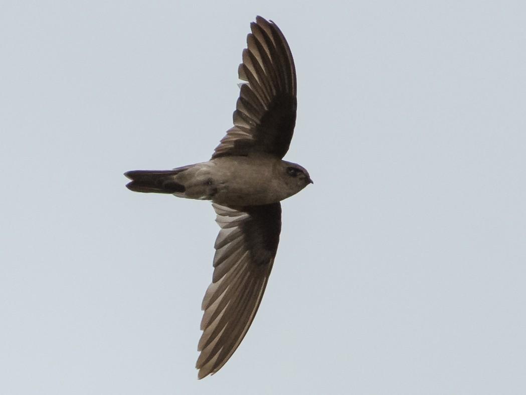 White-nest Swiftlet - Saurabh Sawant