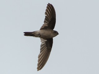 - White-nest Swiftlet