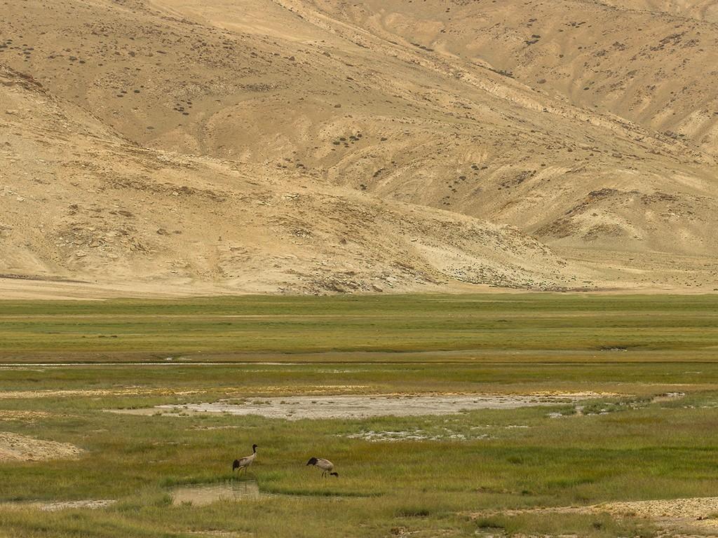Black-necked Crane - Ramit Singal