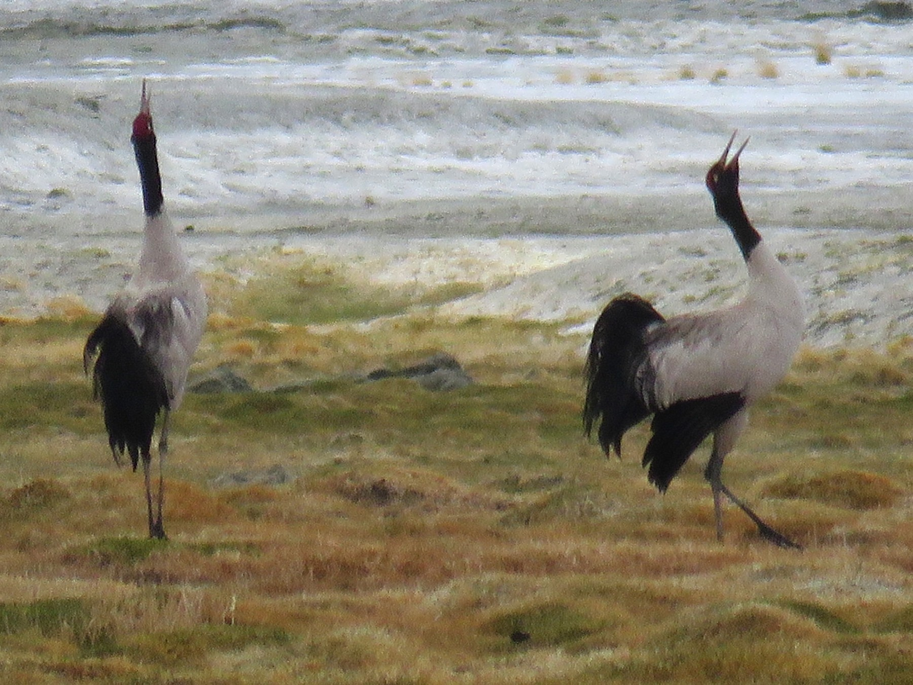 Black-necked Crane - Ritvik Singh