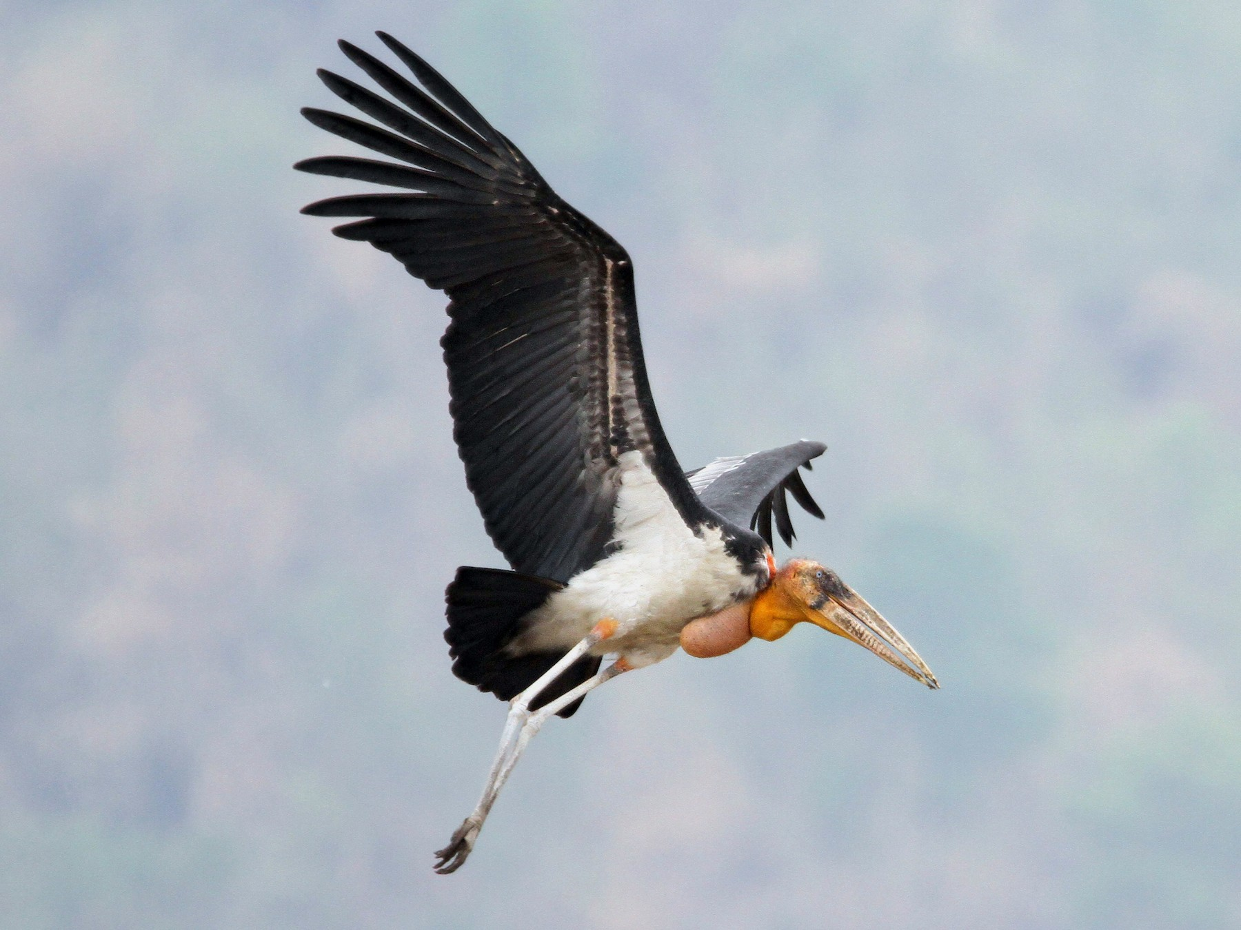 Greater Adjutant - Christoph Moning