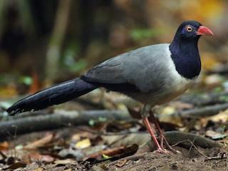 - Coral-billed Ground-Cuckoo