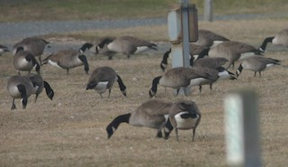 Cackling Goose, ML160272541