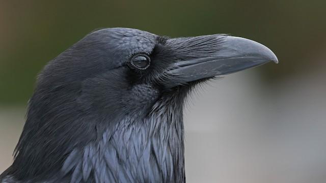 ©Nick Balachanoff - Common Raven
