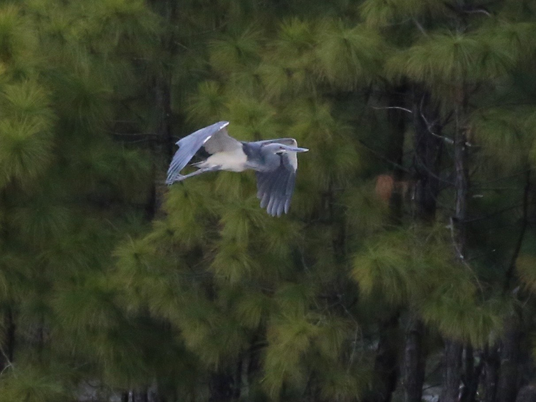 White-bellied Heron - Peter Hosner
