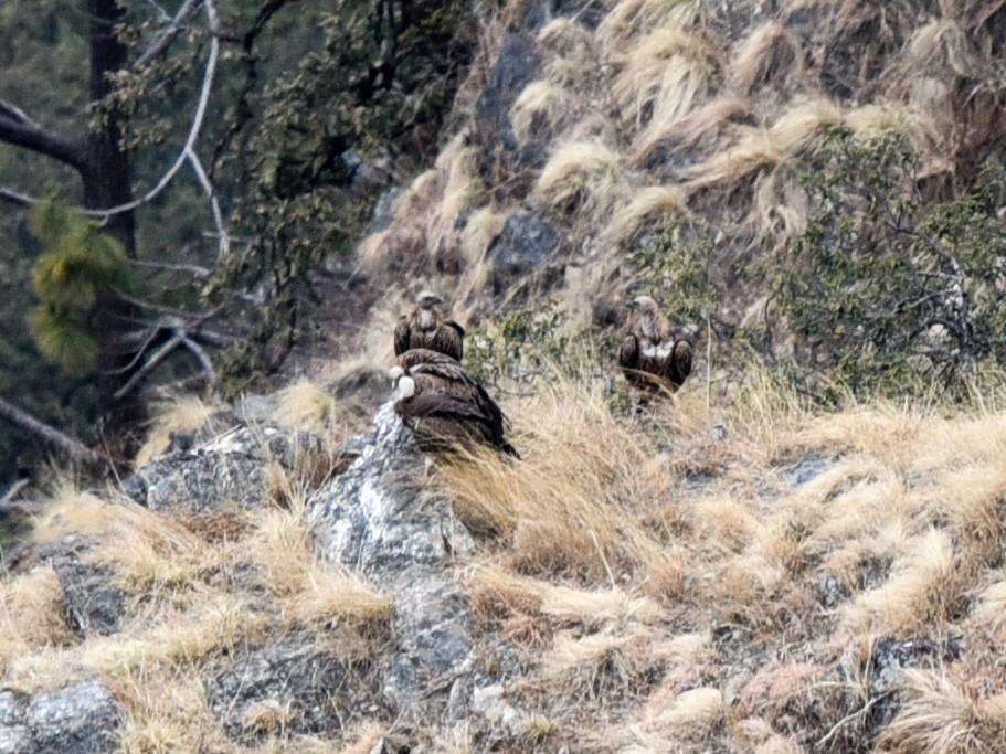 Himalayan Griffon - Bruce Wedderburn