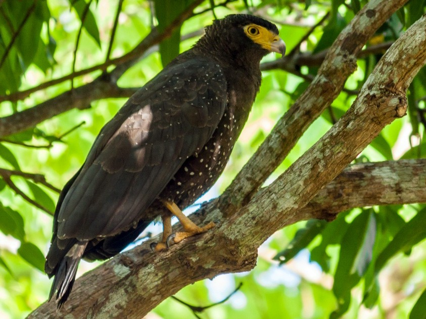 Andaman Serpent-Eagle - Harikrishnan S