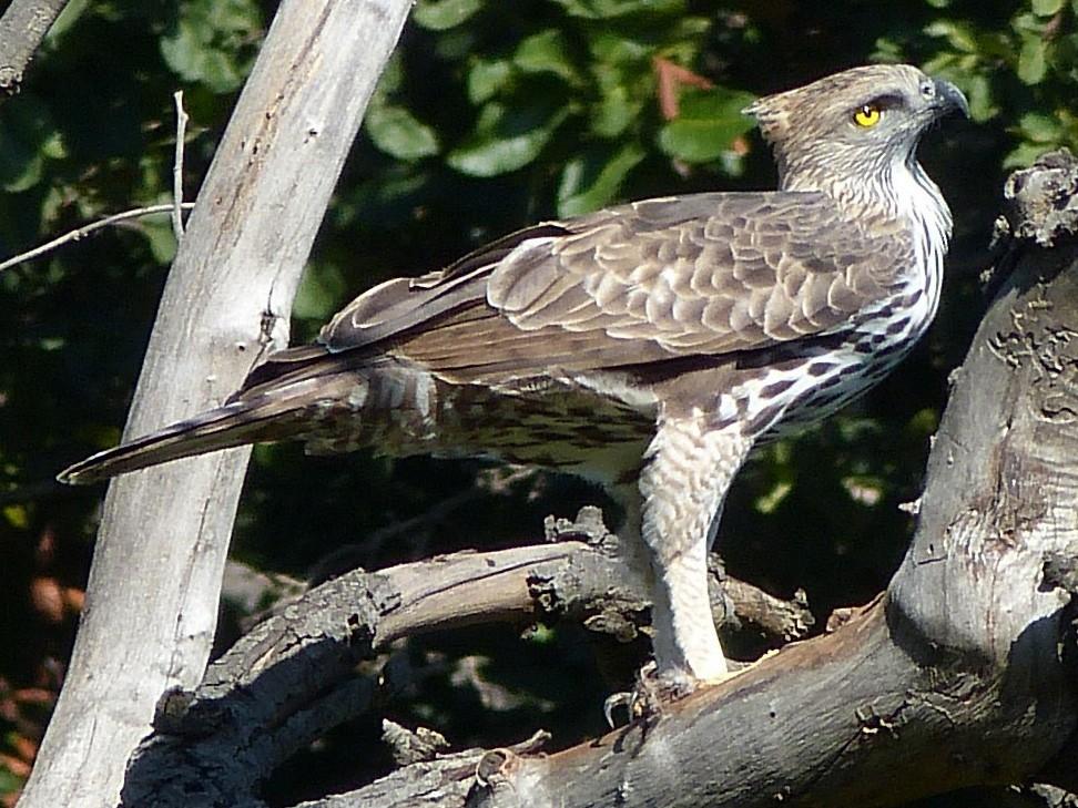 Changeable Hawk-Eagle - Shelley Rutkin