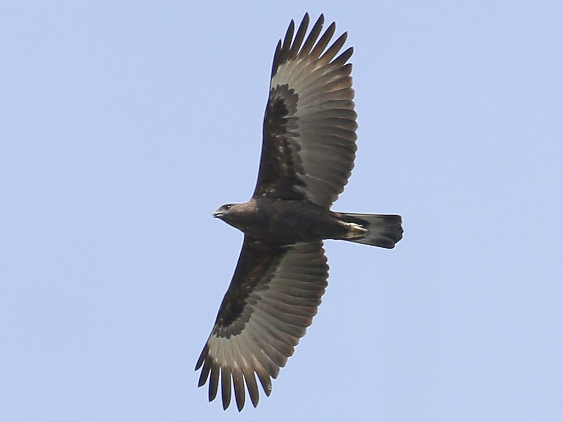 Changeable Hawk-Eagle - Neoh Hor Kee