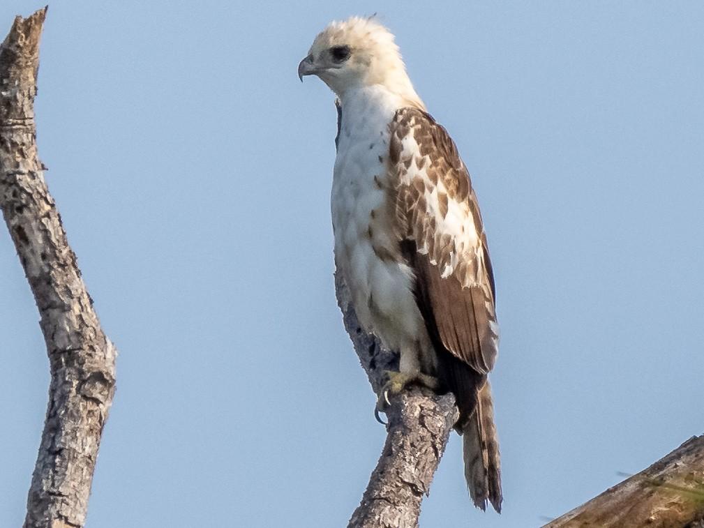 Changeable Hawk-Eagle - Balaji P B