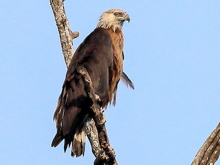 - Pallas's Fish-Eagle