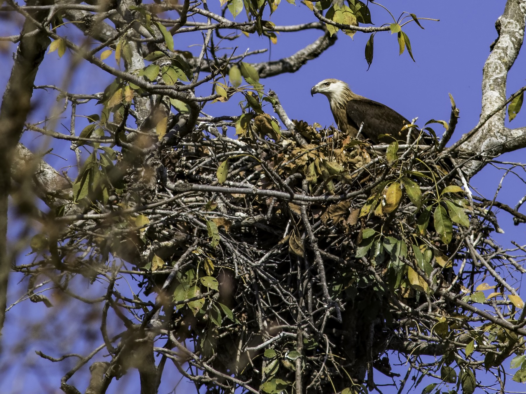 Pallas's Fish-Eagle - Kavi Nanda