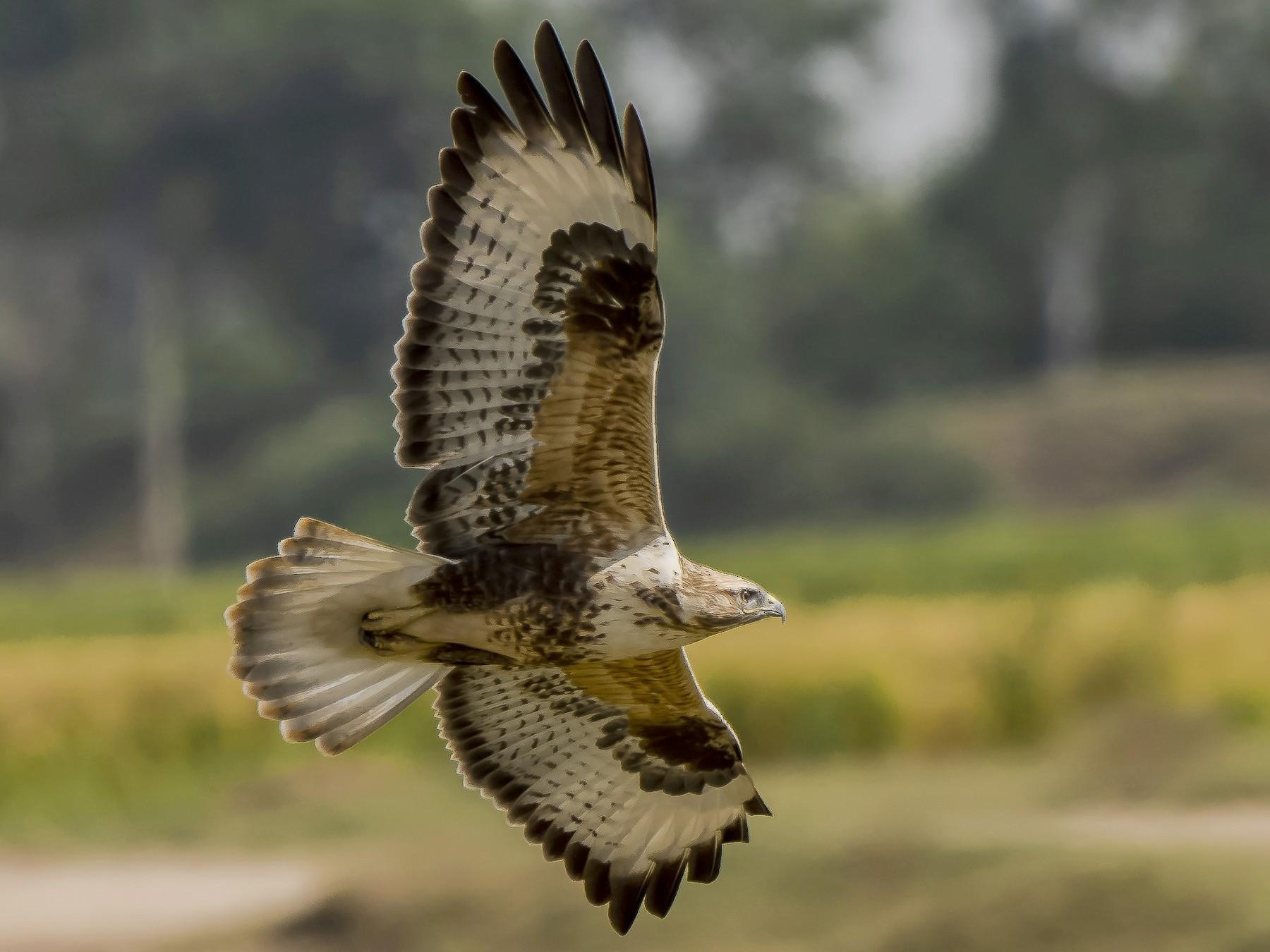 Himalayan Buzzard - Parmil Kumar