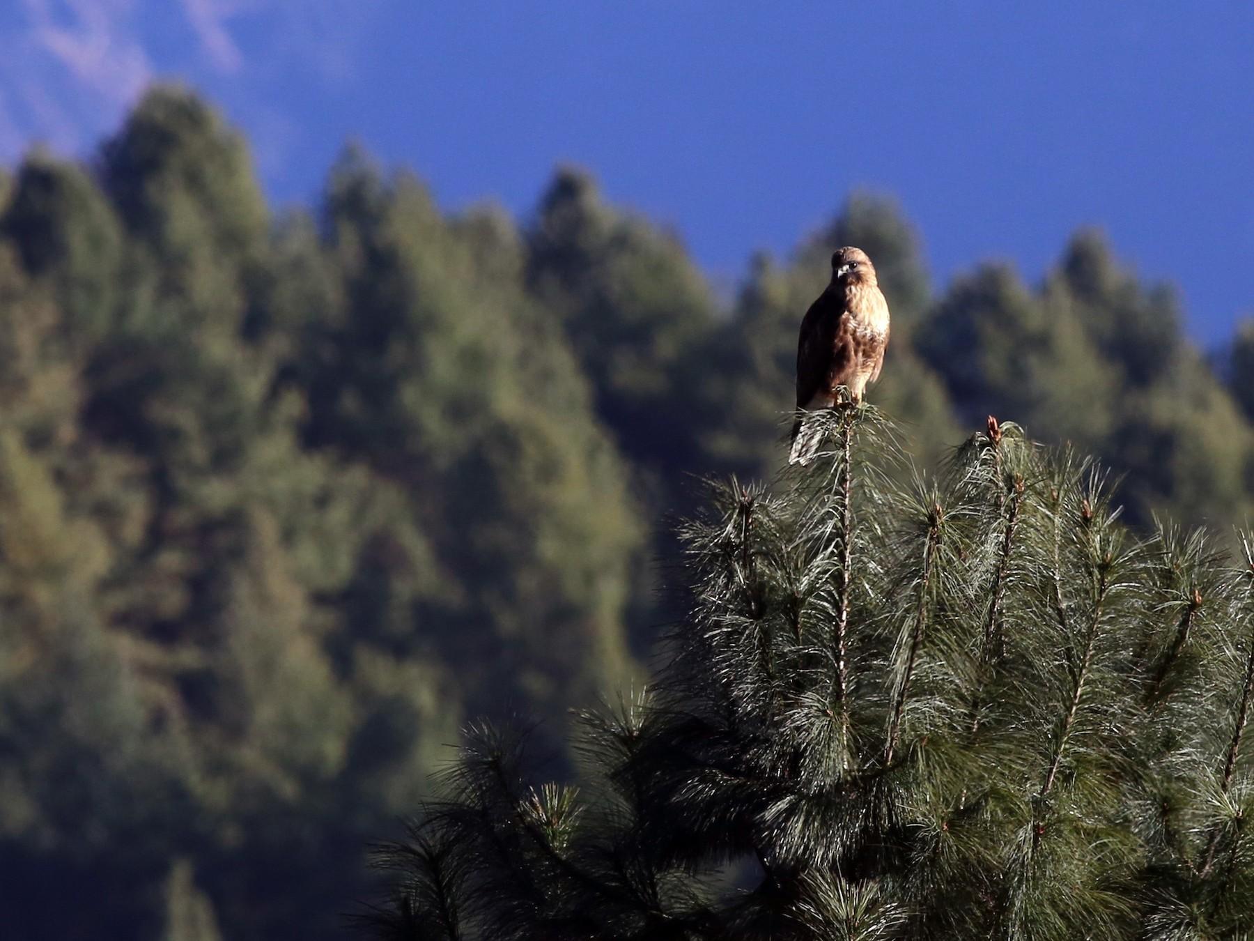 Himalayan Buzzard - Peter Hosner