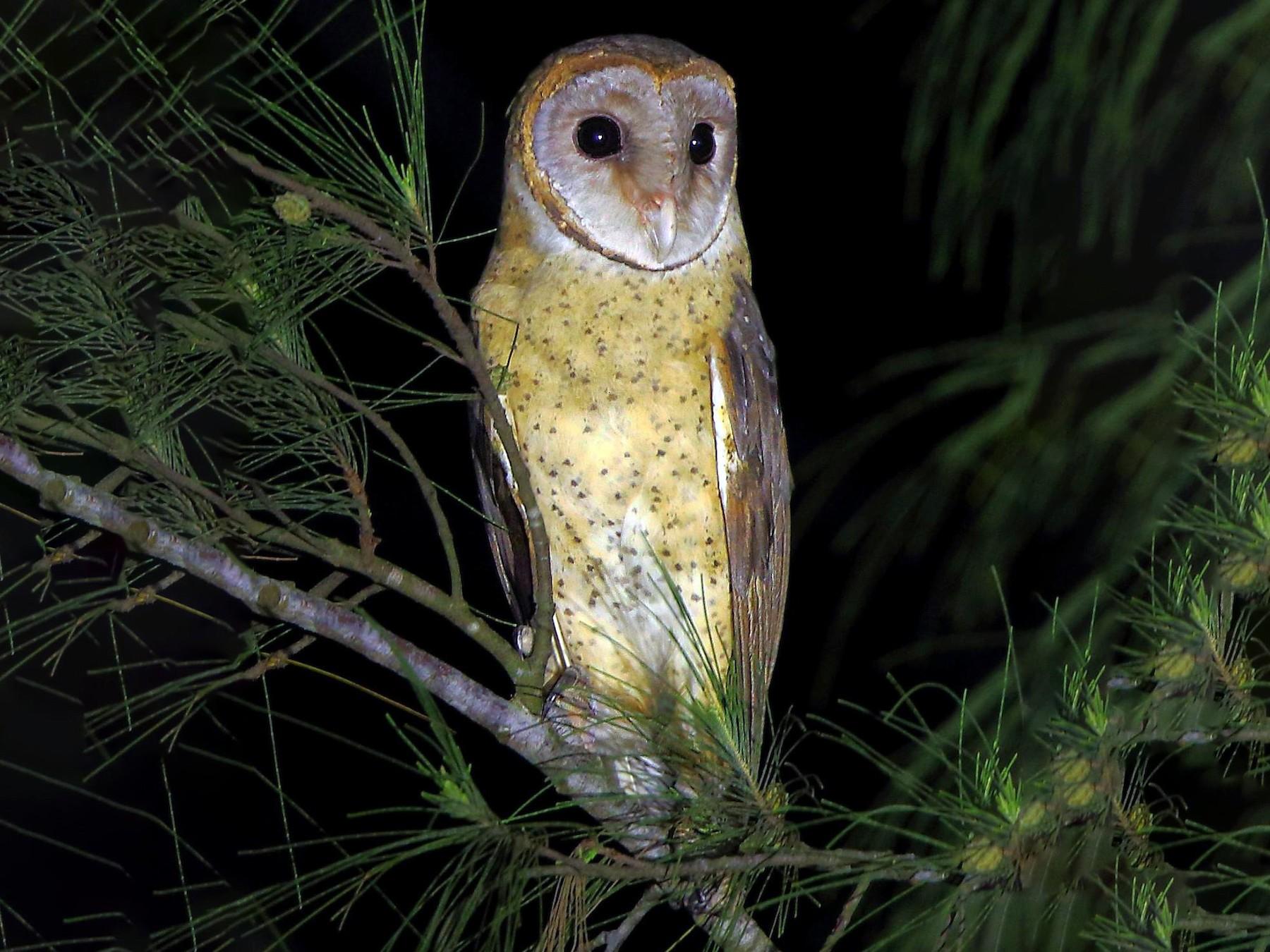 Andaman Masked-Owl - Albin Jacob