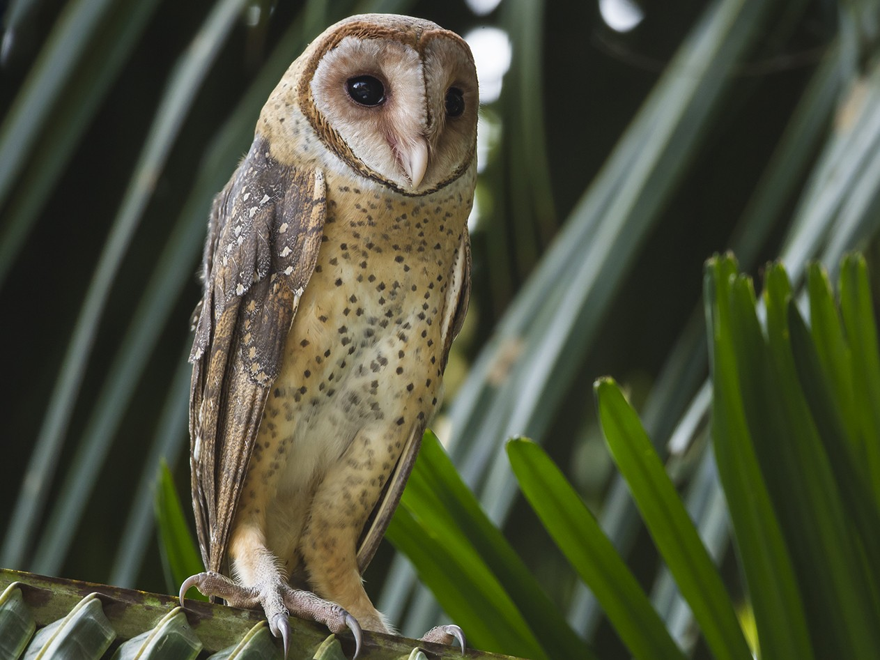 Andaman Masked-Owl - Soar Excursions