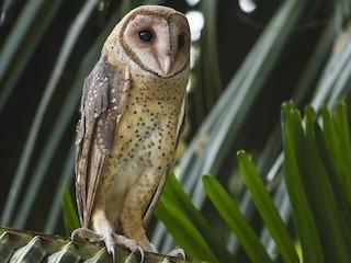 - Andaman Masked-Owl