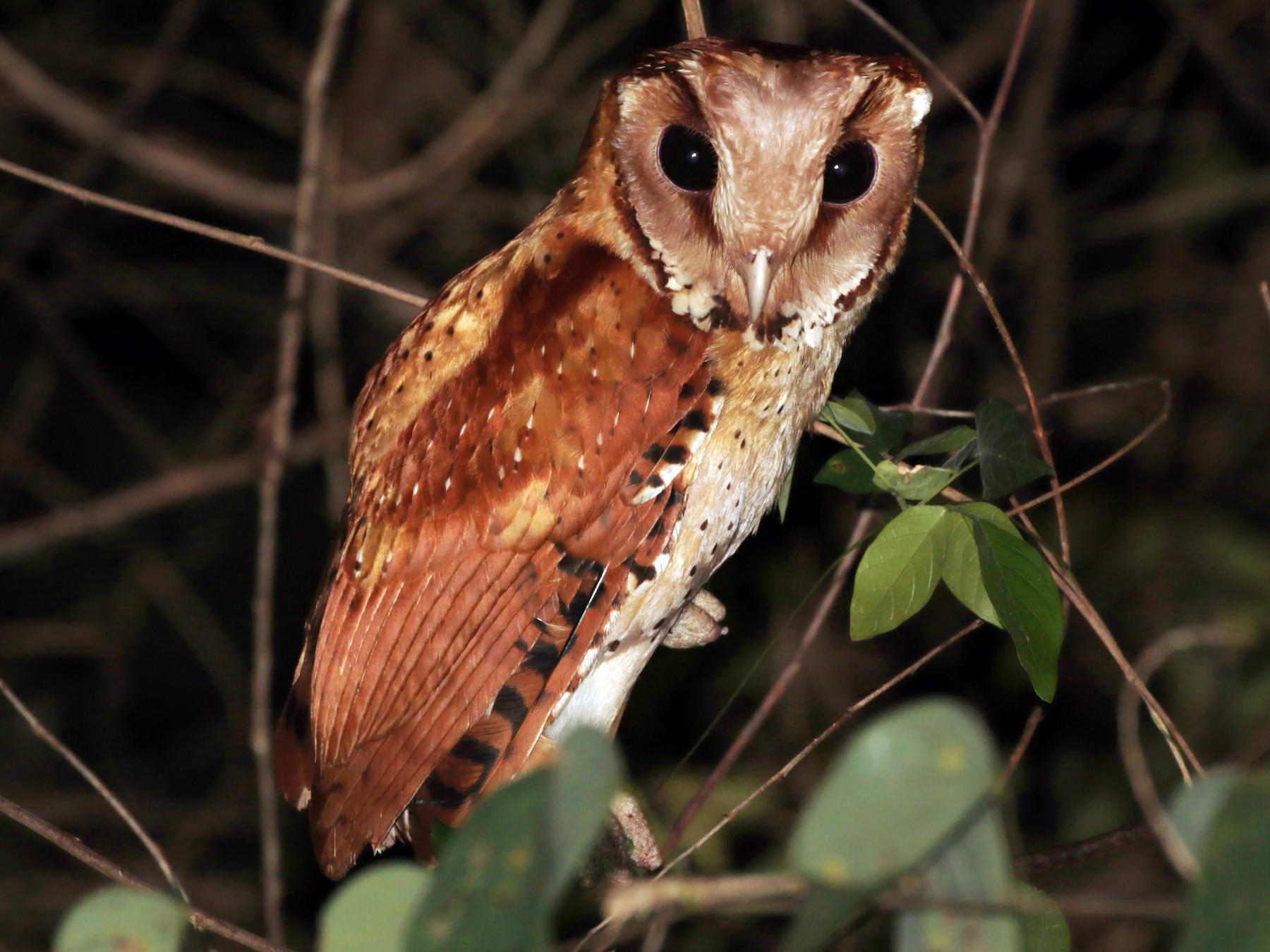 Oriental Bay-Owl - ian dugdale