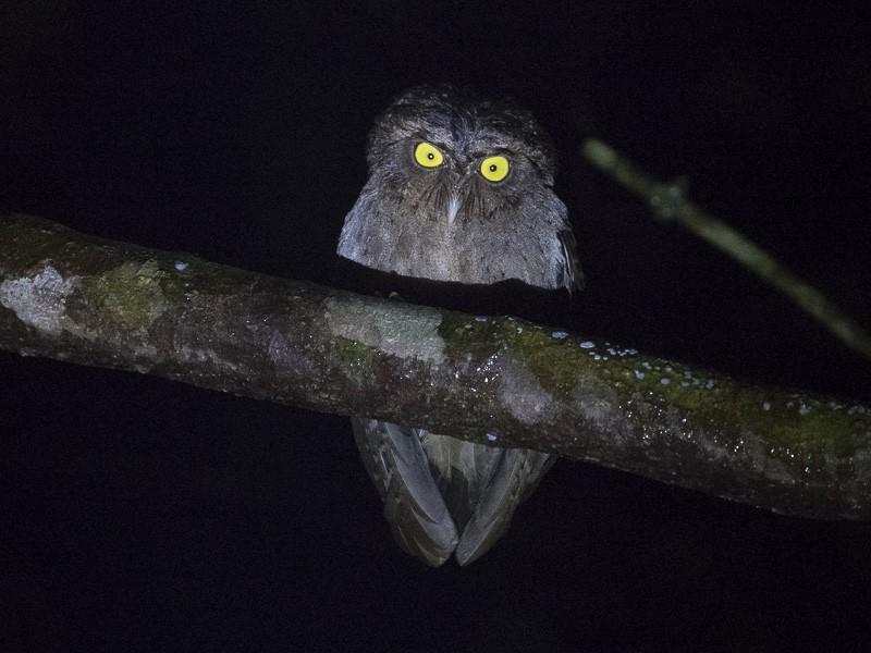 Andaman Scops-Owl - Saurabh Sawant